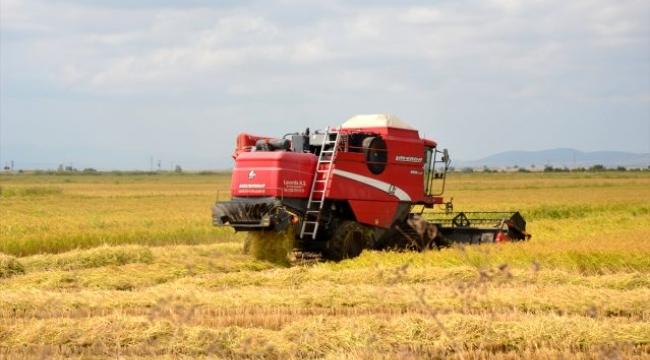 Biga ilçesinde çeltik hasadı başladı.